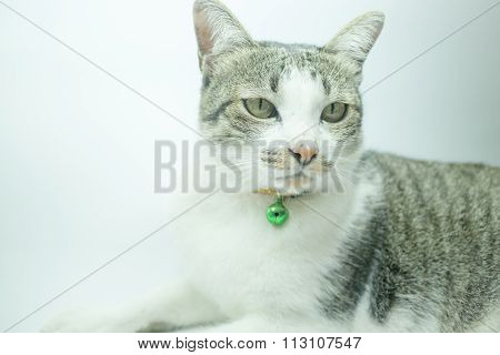 Cute Cat Portrait Wearing A Securitiy Collar In Relaxing Time
