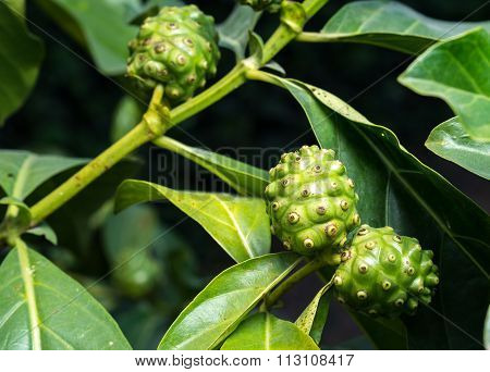 Fresh Green Indean Mulberry
