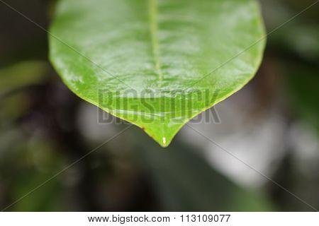 Wet leaf nature