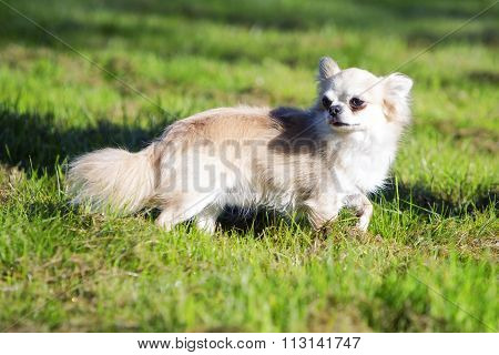 Little chihuahua walking in the green grass