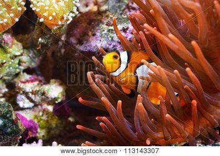 Amphiprion Ocellaris Clownfish In Marine Aquarium