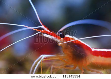 Lysmata Amboinensis Cleaner Shrimp In Marine Aquarium