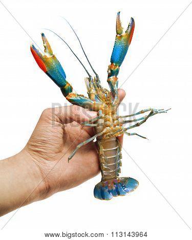 Colorful Australian Blue Crayfish Cherax Quadricarinatus In The Hand. Isolated, No Shadow