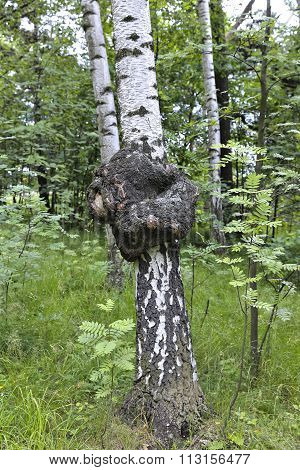 Medicinal Chaga Mushroom On The Trunk Of A Birch