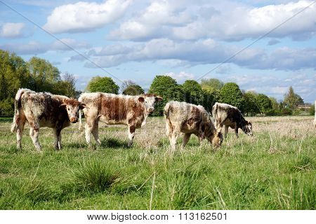English Longhorn Cattle in Spring