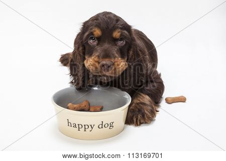 Cute Cocker Spaniel puppy dog looking up from eating boned shaped biscuits in Happy Dog bowl