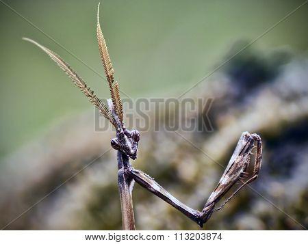 Mantis closeup