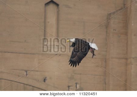 American Bald Eagle With a Catch