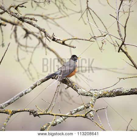 American Robin, Turdus migratorius, perched on a tree