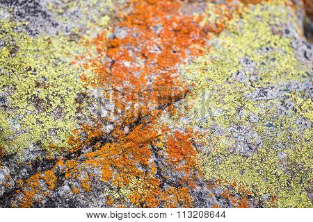 A Mix of Yellow and Orange Crustose Lichens on a rock