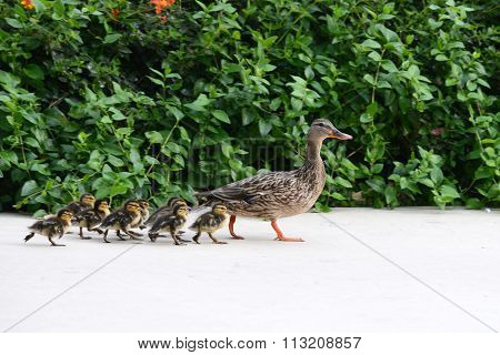 Mother duck with ducklings on sidewalk