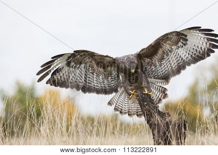 A wild buzzard flying, wings spread and landing on an old tree branch in the countryside. The Buzzard is a bird of prey in the Hawk and Eagle family.