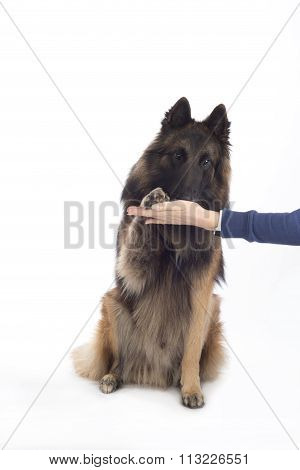 Dog, Belgian Shepherd Tervuren, Paw In Human Hand, Isolated