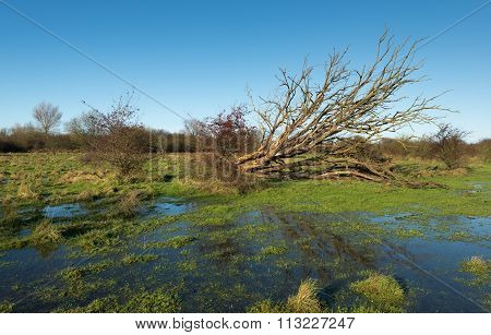 Uprooted Tree With Bare Branches Reflected In The Water
