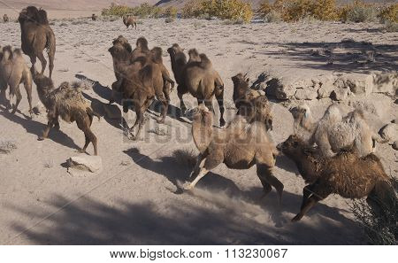 A Herd Of Camels