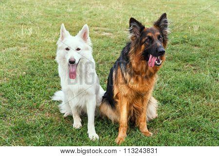White Swiss And German Shepherds
