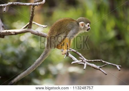 Squirrel Monkey On A Branch