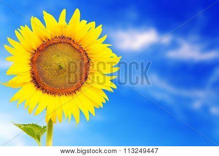 Fresh Blossom Sunflower Outstanding In Sunnyday
