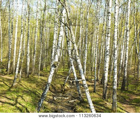 Spring landscape - birch forest with first little leaves.