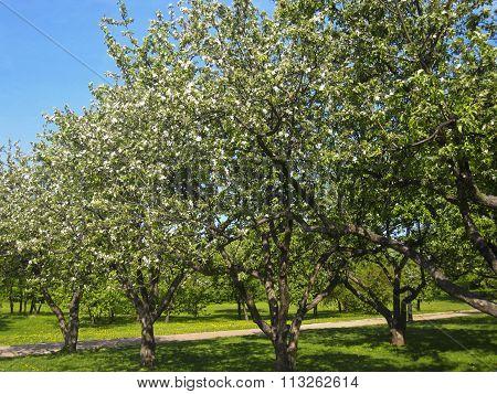 Spring landscape - apple garden in blossom.
