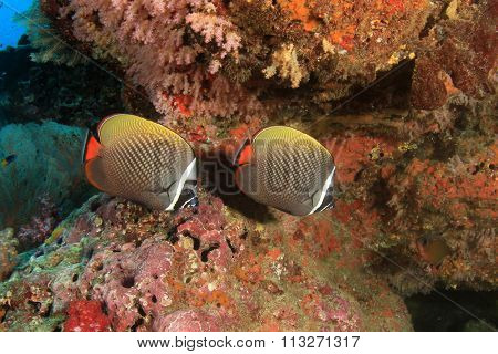 Coral and fish: Redtail Butterflyfish