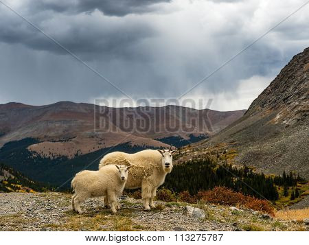 Adult and juvenile mountain goats with storm clouds Rocky Mountains near Breckenridge Colorado