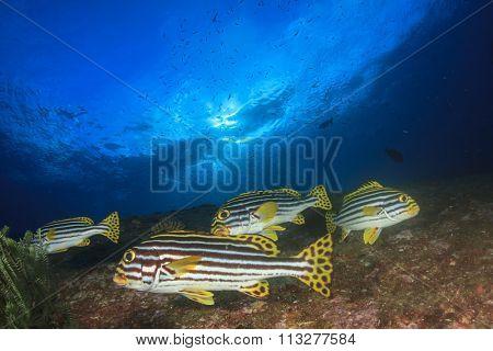 Underwater fish: Oriental Sweetlips