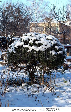 Green Bush In Winter