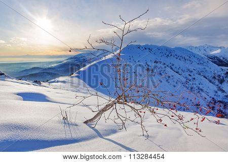 Whitebeam tree (Sorbus aria) in a snowy mountain landscape. Winter season, sunny day. Biella, Western European Alps.