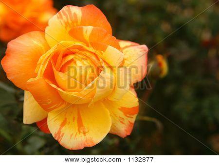 Flower Orange 3