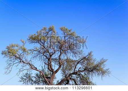 Branchy Curve Tree With Foliage Against The Blue Sky