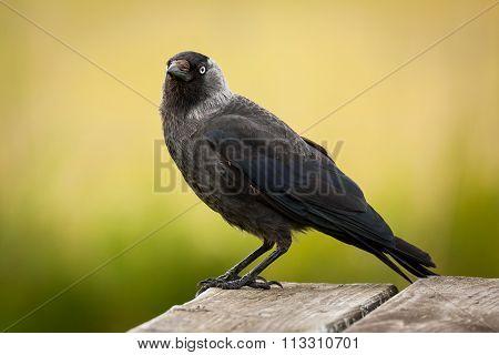 Western jackdaw (Corvus monedula) sitting on table