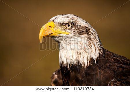 Portrait of a bald eagle ( haliaeetus leucocephalus)