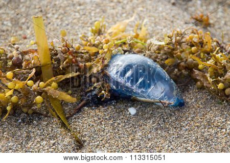 Blue Bottle  Venomous Jellyfish On Sand