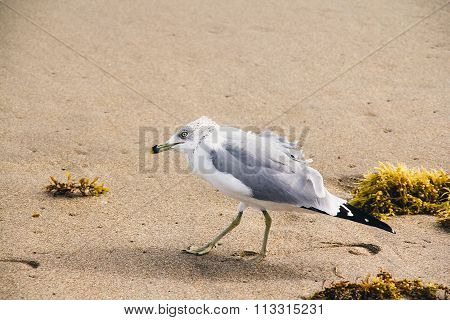 Villain Seagull On The Sand