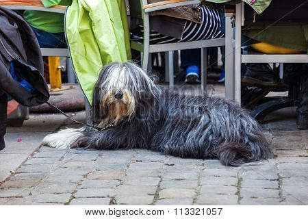 Bearded Collie sitting at a street restaurant in the city