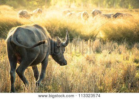 Thai Buffalo, Life Machine Of Farmer.