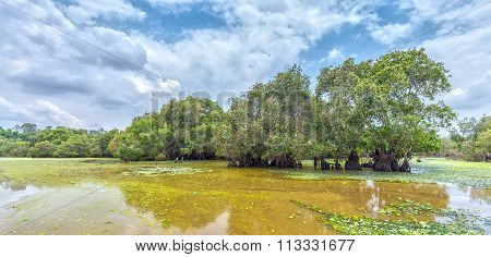 Melaleuca forest on field