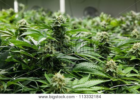 Indoor Marijuana bud under lights