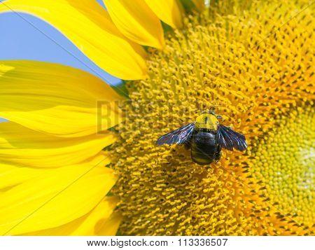 Carpenter Bee On Blooming Sunflower