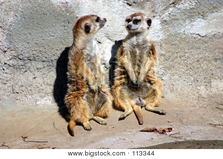 Merkat Friend