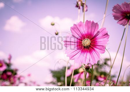 Purple, Pink, Red, Cosmos Flowers In The Garden With Sky Clouds Soft Blur Background In Pastel Retro