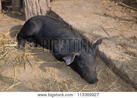 Cute Baby Black Pig Sleeping In Pigpen.