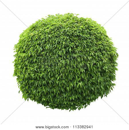 Cute Ball Shaped Bush Isolated On White Background