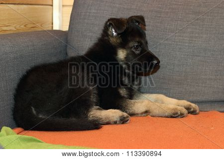 shepherd puppy dog