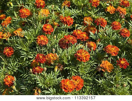 Flowerbed with little orange marigolds horizontal orientation.