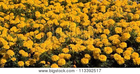 Flowerbed with many flowers marigolds of orange colour.