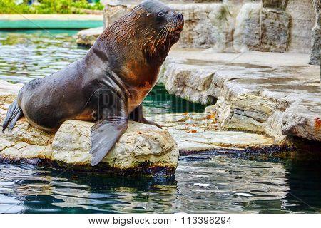 Cute Playful California Sea Lions (zalophus Californianus) On Rock Background.