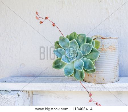Photo of a Graptopetalum succulent pot plant against a white wall poster