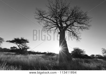 Large Baobab Tree Without Leaves At Sunrise With Clear Sky Artistic Conversion